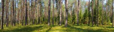 Cuadro Verano coníferas bosque panorama