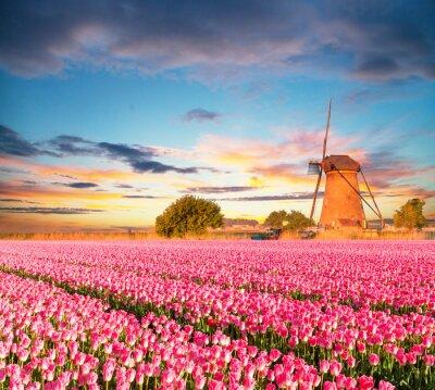 Cuadro Vibrante campo de tulipanes con molino de viento holandés