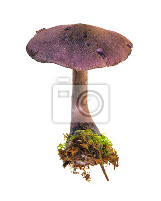 violeta seta aislados en blanco