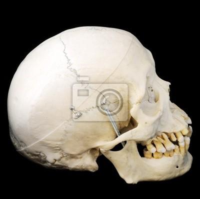 Vista lateral del cráneo humano real pinturas para la pared ...