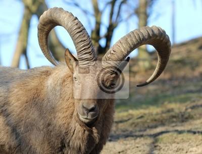 Westkaukasischer Capricornio en el zoológico Sababurg