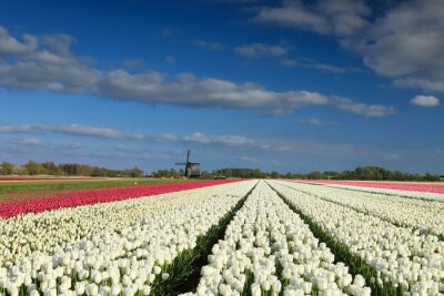 white and pink tulips by windmill on sunny day