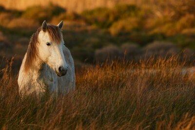 Cuadro White horse of Camargue
