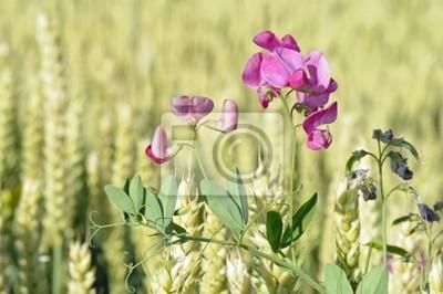 Wicke en campo de trigo