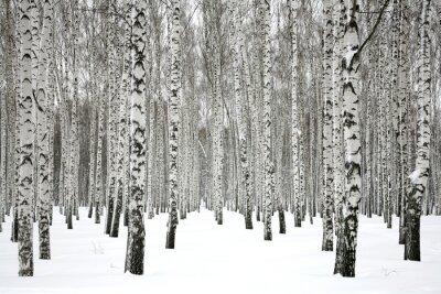 Cuadro Winter birch forest