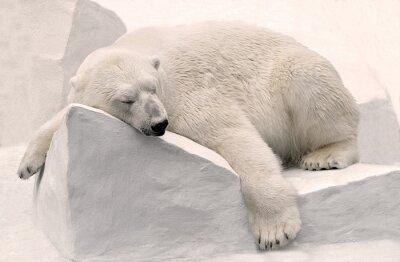 Cuadro Белый медведь спит.