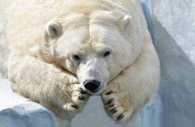 Cuadro Медведь Белый.