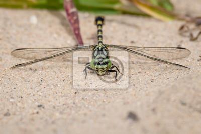 Onychogomphus forcipatus ♂ (Onychogomphus forcipatus)