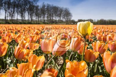 Yellow color tulip flower against the ocean of orange tulips