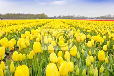 Yellow Tulip Bulbs Granja en tiempo de primavera