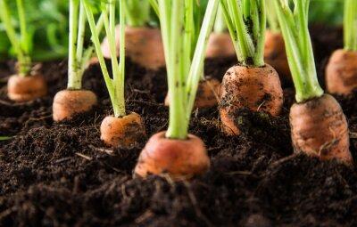 Cuadro zanahorias en el jardín
