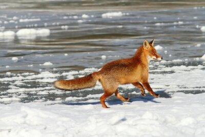 Cuadro Zorro rojo corriendo en el hielo
