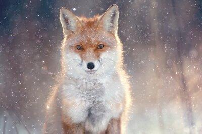 Cuadro Zorro rojo en el bosque de invierno Pretty