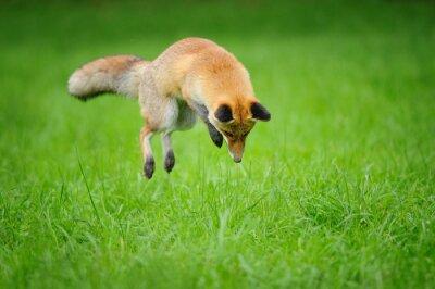 Cuadro Zorro rojo en la caza cuando mousing en hierba de la vista frontal