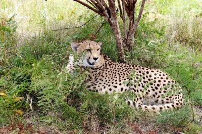 Fotomural 03 guepardo