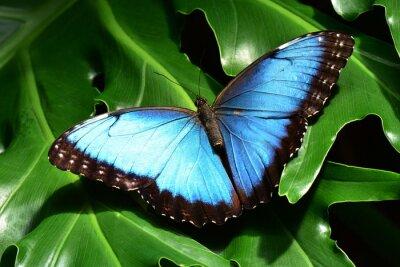 Fotomural A bastante azules tierras mariposa morfo en los Jardines de la mariposa.