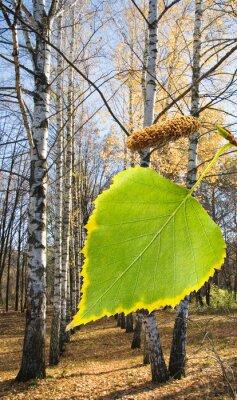 Fotomural Abedul, árbol, parque, cierre, arriba