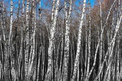 Fotomural Abedul, arboleda, blanco, y, blanco, gradiente