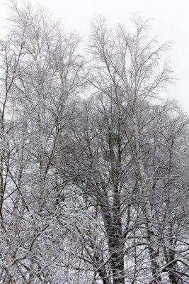 Fotomural Abedul cubierto de nieve