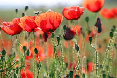 Fotomural Abeja y amapolas flor primavera temporada