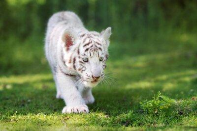 Fotomural Adorable cachorro de tigre blanco caminando en la hierba