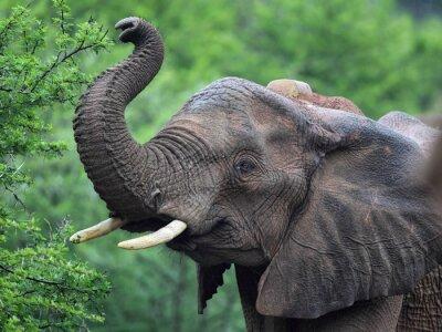 Fotomural Afrikanischer Elefant (Loxodonta africana)
