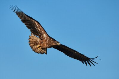 Fotomural Águila en vuelo