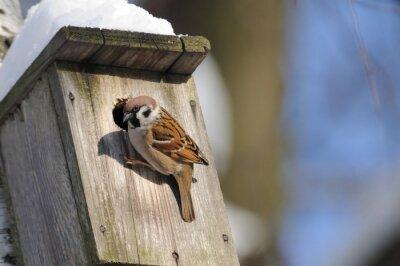 Fotomural Al finalizar el invierno, el gorrión de árbol investiga la