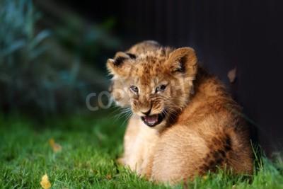 Fotomural Alerta pequeño cachorro de león con pelo marrón en outdoore