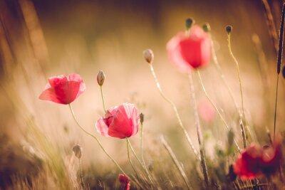 Fotomural Amapolas en campo de la naturaleza del verano con la luz brillante / verano fondo / fondo de oro de primavera