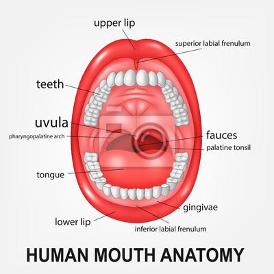 Anatomía de la boca humana, boca abierta con explicación fotomural ...