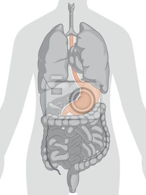 Anatomía del cuerpo humano - estómago fotomural • fotomurales colon ...