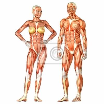 Anatomía del cuerpo humano - masculino y femenino fotomural ...