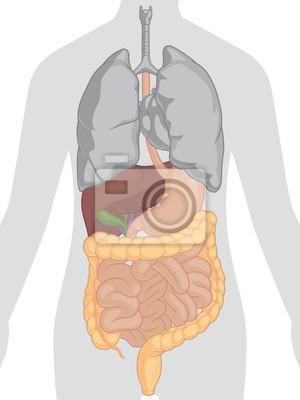 Anatomía del cuerpo humano - sistema digestivo fotomural ...
