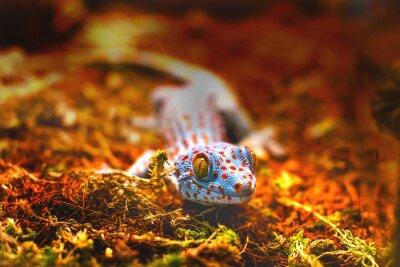 Fotomural Animal exótico tokay gecko lagarto
