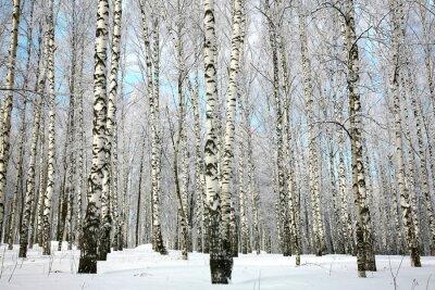 Fotomural Árbol de abedul de invierno con ramas cubiertas de nieve