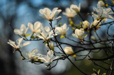 Fotomural Árbol de primavera en flores, magnolia