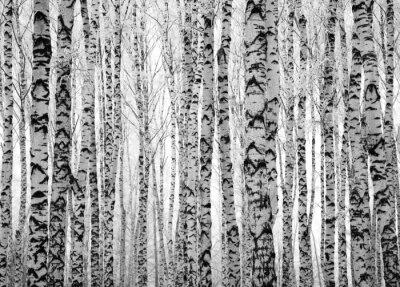 Fotomural Árboles de abedul de invierno troncos