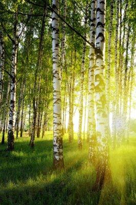 Fotomural árboles de abedul en un bosque del verano