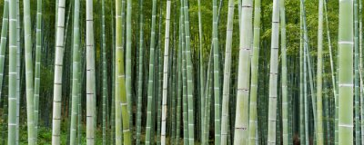 Fotomural Bambuseae