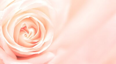 Fotomural Banner con rosa rosa
