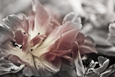 Fotomural Bella arte de los tulipanes del primer, enmascarada y del sostenido