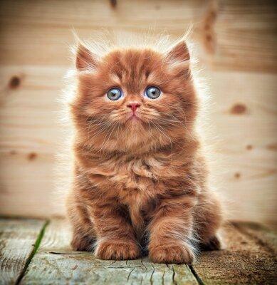 Fotomural Bella británica pelo largo gatito
