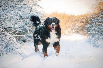 Fotomural Bernese montaña perro en el paseo en invierno