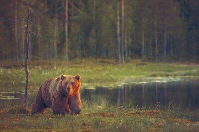Fotomural Big Bear pie masculino en el pantano al atardecer