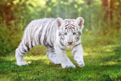 Fotomural Blanco, tigre, cachorro, ambulante, al aire libre