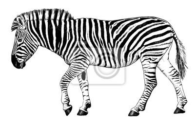 Blanco Y Negro Dibujo Vectorial De Una Caminata Cebra Fotomural