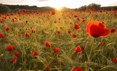 Fotomural Blooming campo de amapola en la luz del atardecer