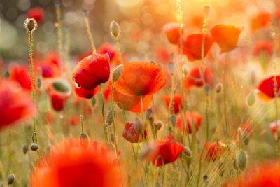 Fotomural Blooming campo de amapola en la noche la luz con Bokeh