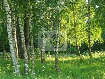 Fotomural bosque de abedules